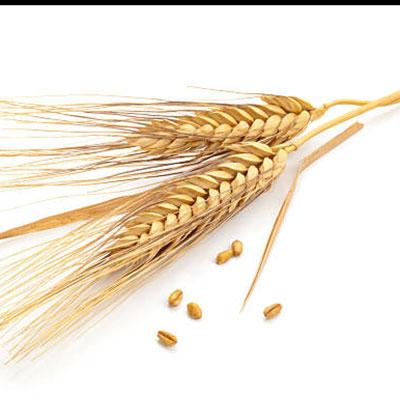 Wheat Protein